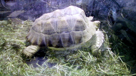 Clifford, African spur (sulcata) tortoise
